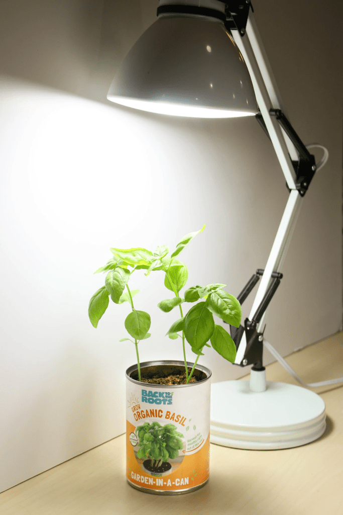 Plant grown in a can under a desk lamp
