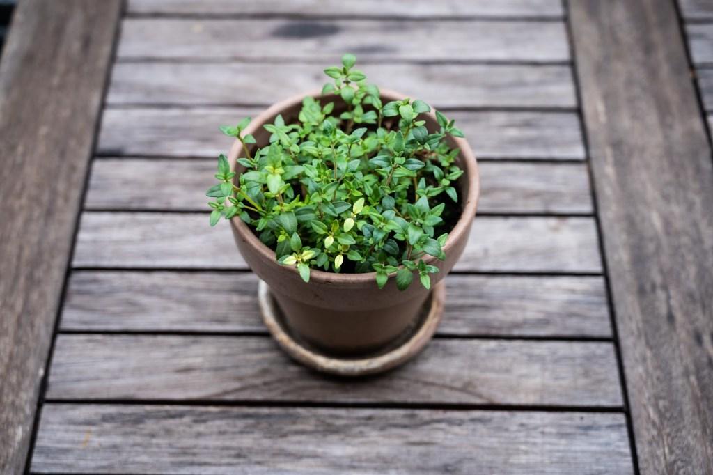 thyme in a terracotta pot