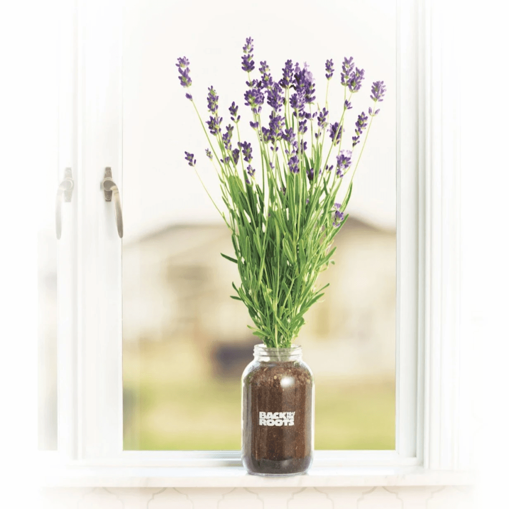 how to grow lavender: Back to the Roots Windowsill Lavender Planter