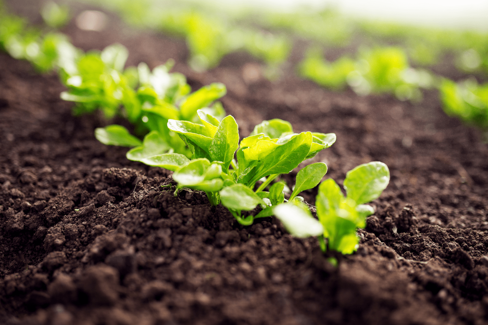how to grow lettuce: growing lettuce