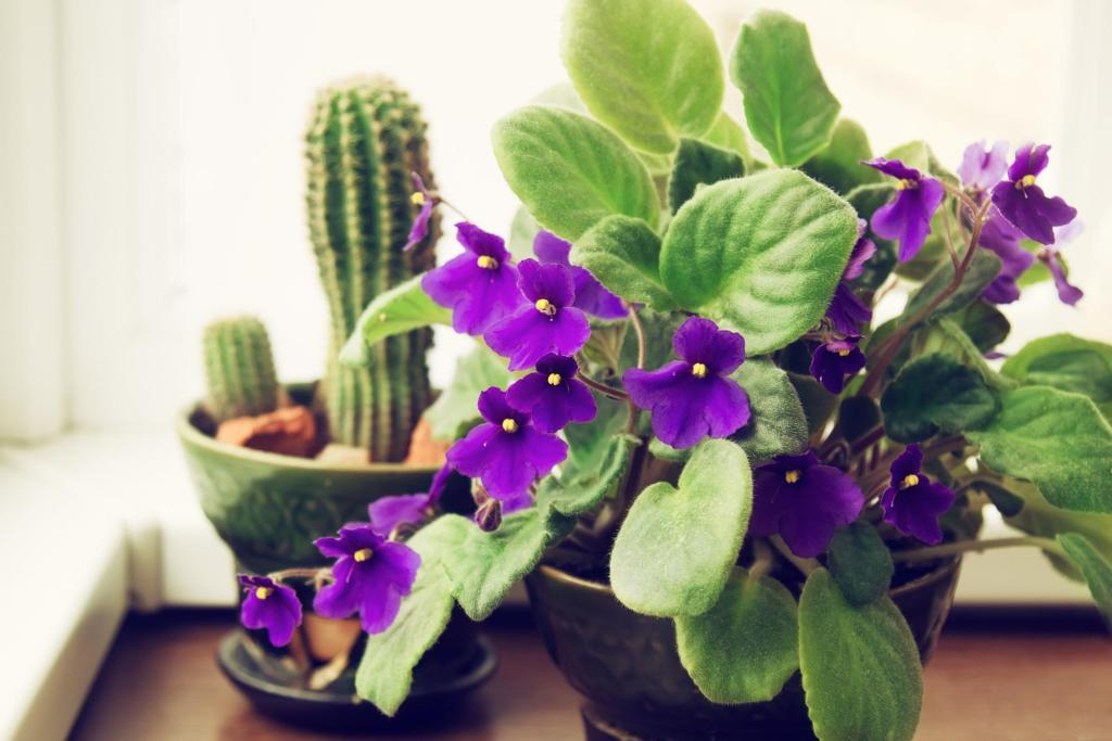 plants safe for cats: African violet and cactus in flower pots
