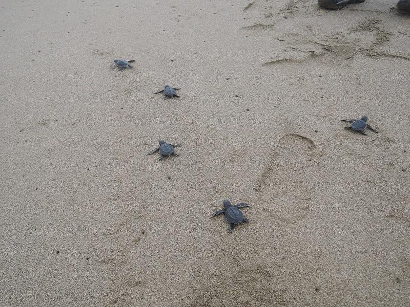 ウミガメの産卵~スカマデビーチ