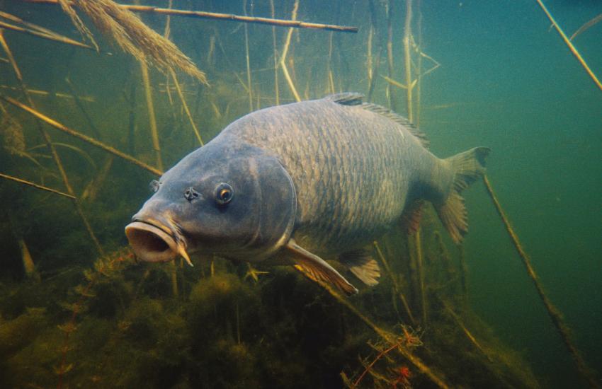 a carp underwater