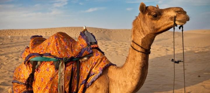 Camel in desert on a camel safari in Thar desert