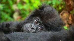 Three Critically Endangered Mountain Gorillas Born in Uganda