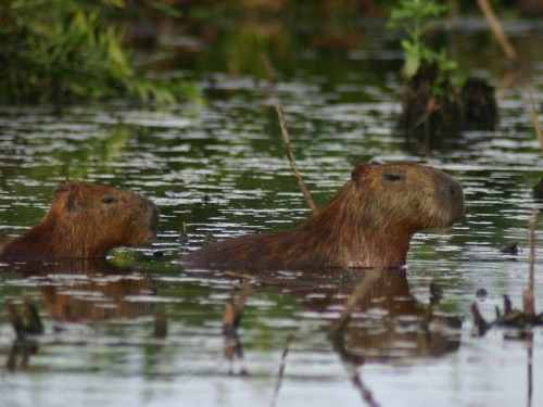 Two Capybara's wading through a river in the Amazon rainforest