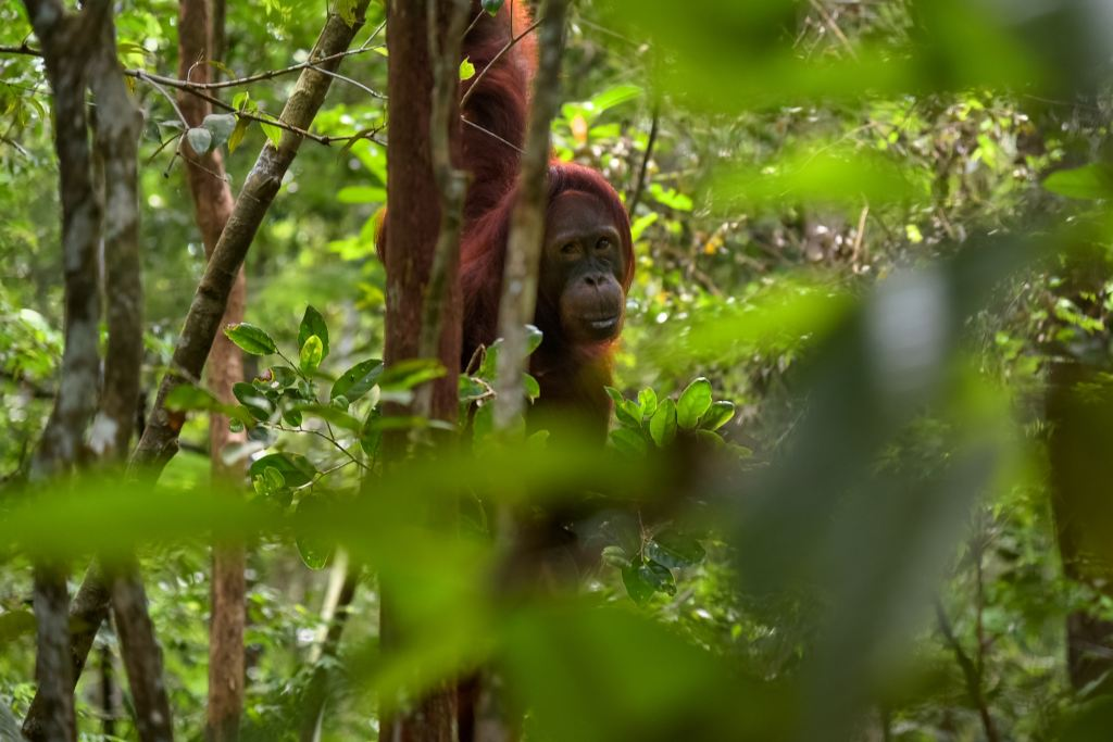 An Orangutang looking through the rainforest leaves in Borneo