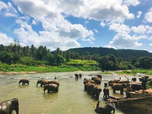 Elephants bathing in a river in Sri Lanka