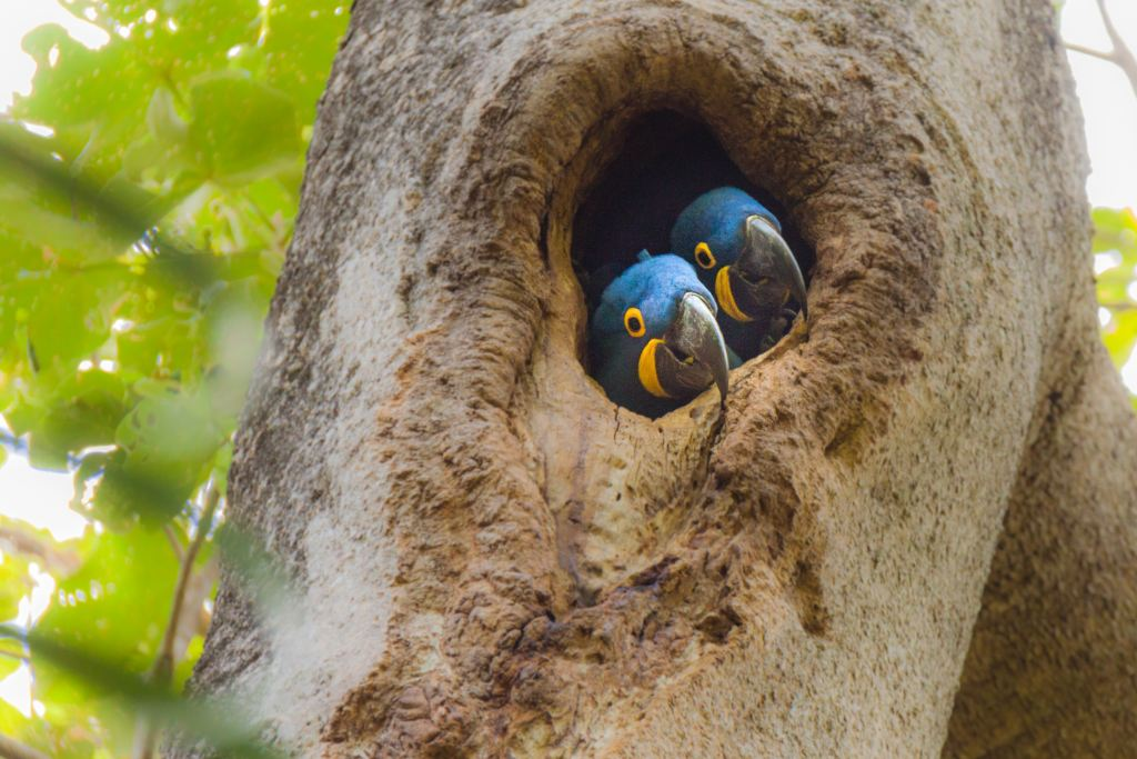 Two blue Macaws looking out of a hole in a tree in the Amazon number 1 of the top 10 rainforests