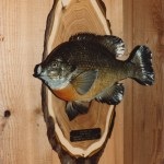 Sunfish or Bluegill