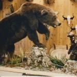 Alaskan Brown Bear & Wolverine