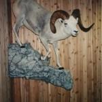 Fannin Sheep