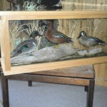 Green Wing Teal, Cinnamon Teal & Blue Wing Teal in Glass Case