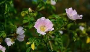 38 fleurs de Bach: Wild rose_blog_betilami