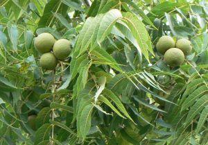 fleur de bach walnut blog betilami