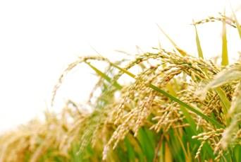 Ambemohar rice benefits and investments cavaco silva borba investment