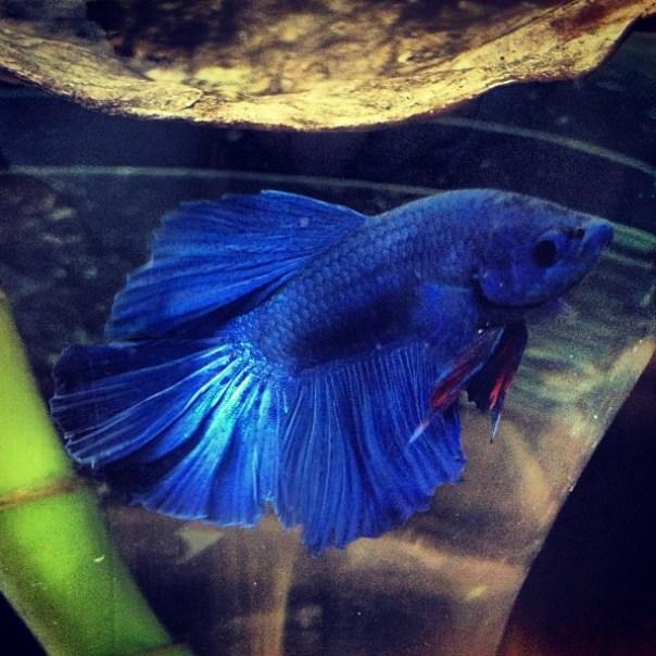 Introducing my sexy boy! #HM #Halfmoon #Betta #Siamese #Fighting #Fish - from Instagram