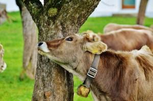 mucca vitello