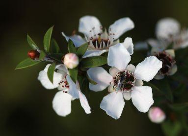 fiori manuka