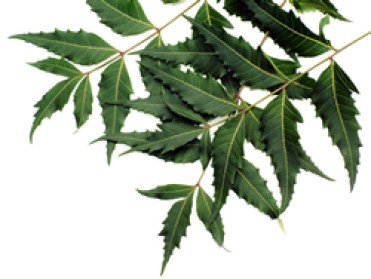 foglie albero neem