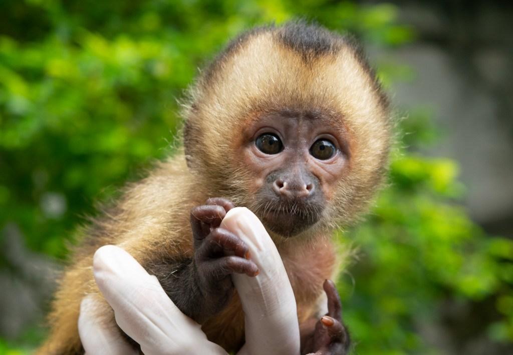 Abu, filhote de macaco-prego-do-peito-amarelo que nasceu no BioParque do Rio