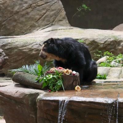 Maia, ursa-de-óculos do BioParque do Rio, se alimentando