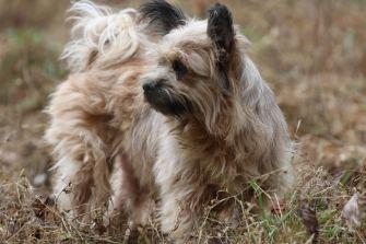 Kemosabe rescue me Yodel terrier