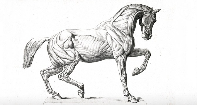 Equine Connective Tissue