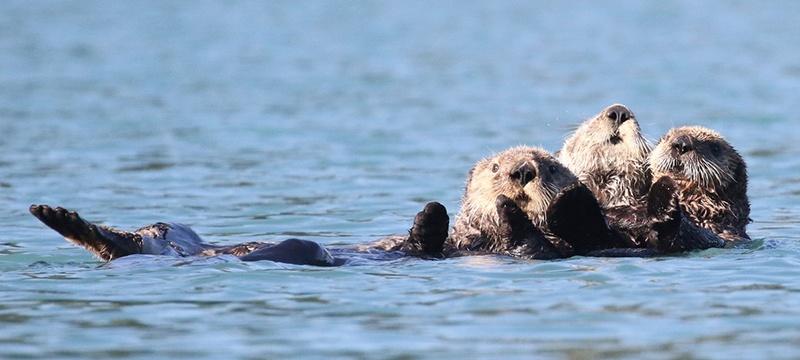 The Otter Whisperer | BioStar US