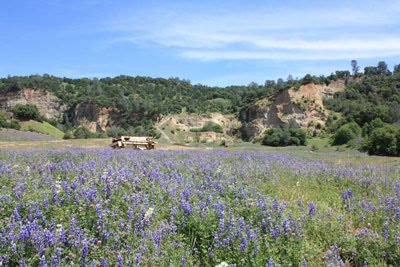Lupine in the Blue Point Valley