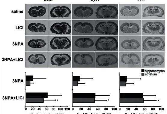 Effect of LiCl on 3NPA-induced striatal and hippocampal lesion stained with COX, Syt4, and Syt7 mRNAs. The panel demonstrates adjacent coronal/hippocampal sections from the same animal that represents the groups treated with 3NPA+LiCl, 3NPA, LiCl, and saline that were stained for COX activity, or processed for autoradiographic procedure of in situ hybridization of Syt4 and Syt7 mRNAs. The graphs below each column of the images illustrate the results of measurement of the size of striatal (% of hypodense region) and hippocampal (% of hypodense length of stratum pyramidale) lesions. The bars represent the average value ± standard deviation (SD); *statistical significance of the differences between lesions in the groups treated with 3NPA+LiCl (n = 4) and with 3NPA (n = 5) were calculated using unpaired Student's t-test. Statistical significance was set at p < 0.05. It can be observed that the striatal and hippocampal relative optical densities (RODs) on the images of COX histochemical staining and in situ hybridization autoradiograms of the LiCl and saline groups were apparently unaffected by the treatments.