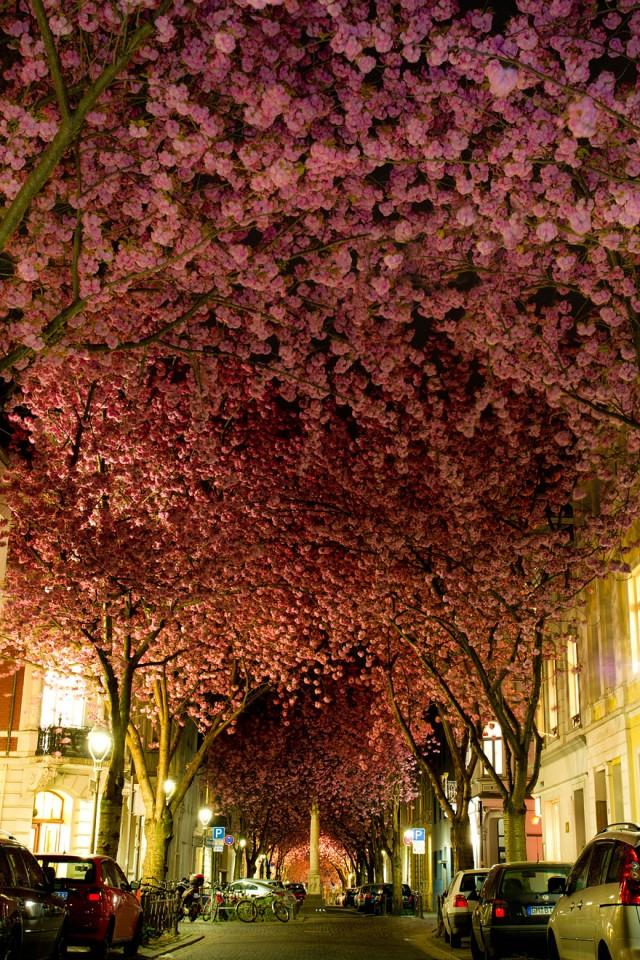 Germania, Bonn, ciresi in floare; sursa imagine - Marcel Bednarz