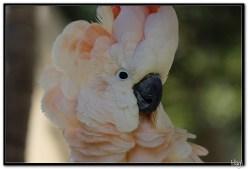 Papige