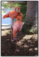 Flamingosi
