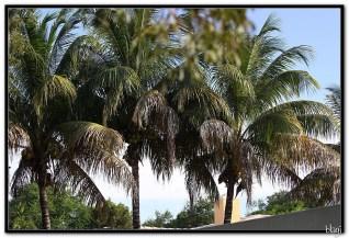 Kokosova stabla