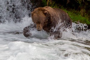 This older male brown bear is hunting in Brooks River (Alaska, USA) for salmon