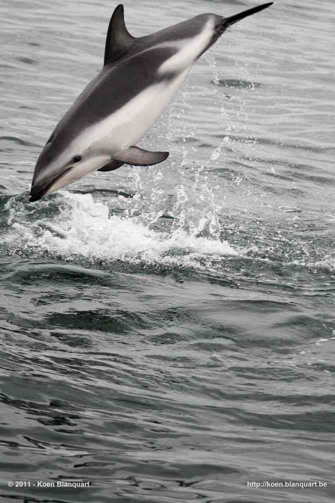 Dolphins - near the New Zealand shore