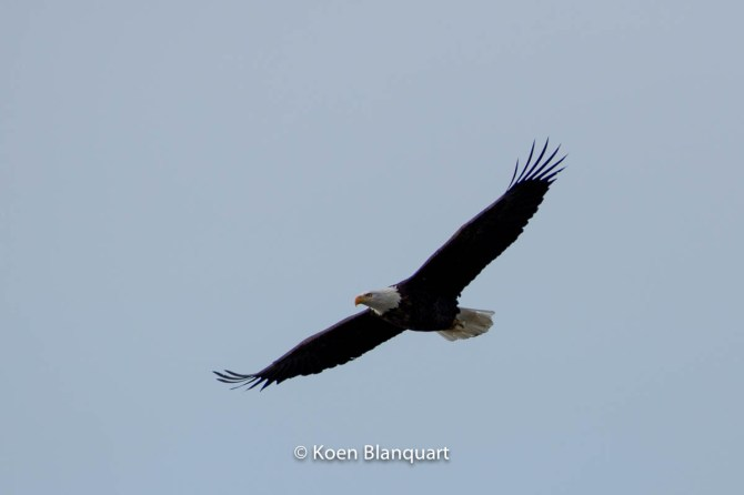 Bald Eagle in Flight near the Canadian border (South West Alaska)
