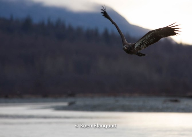 Juvenile Bald Eagle flying over the Chilkat River (Alaska)