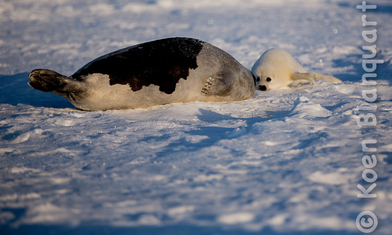 A harp seals and its pup on the ice in the Gulf of Saint Lawrence (Photo: Koen Blanquart, 2015)