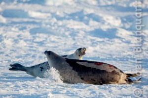 Two harp seals fighting on the ice in the Gulf of Saint Lawrence (Photo: Koen Blanquart, 2015)