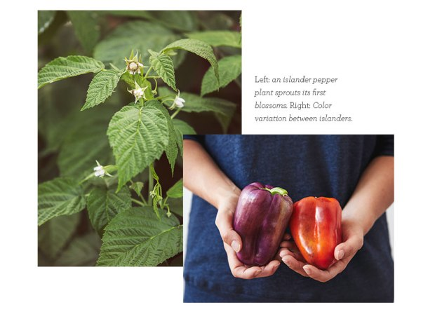 Islander Bell Pepper Plant