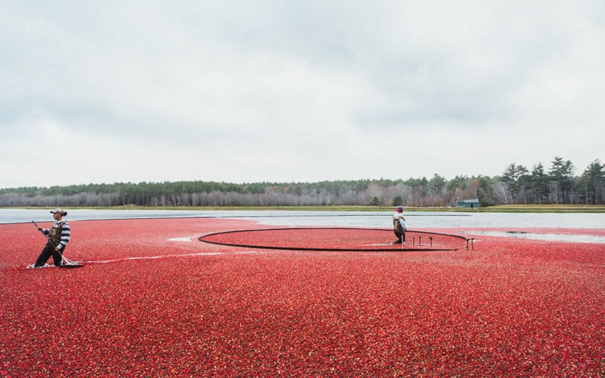 Cranberry harvest_CapeCodSelect