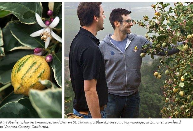 Pink Lemons on Eureka Lemon Tree at Limoneira Orchard in California