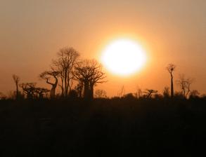 Skyline of baobabs