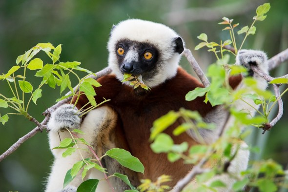 Coquerel's sifaka | Photo: Louise Jasper