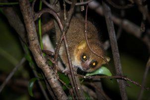 Golden-brown mouse lemur | Photo: Louise Jasper