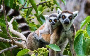 Ring-tailed lemur | Photo: Louise Jasper