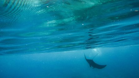 Photo of a reef Manta Ray at the ocean surface