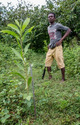 fuelwood plantation